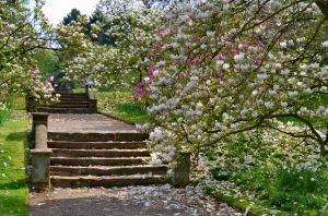 Magnolia trees at Hodnet Hall Gardens