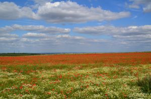 Poppy field by Broseley