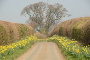 Road between Daffodils