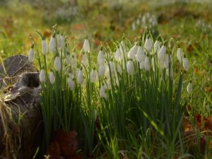Snowdrops nearStream Cound,  - 2014