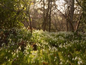 Snowdrops at Chirk Castle - 2014