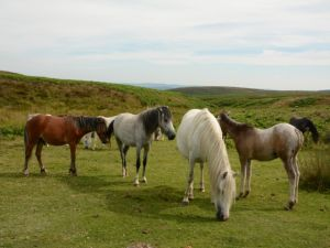 Ponys at the Long Mynd, Shropshire - 2014